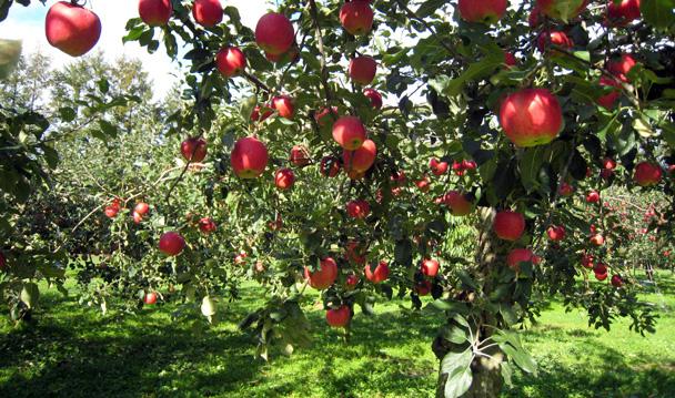 Una mela al giorno leva il medico di torno le mele del - Mele fuji coltivazione ...